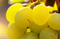 Green grape cluster against sunlight closeup view - PhotoDune Item for Sale