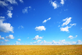 Wheat field summer sunny day under cloudy blue sky - PhotoDune Item for Sale