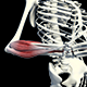 3D Forearm Muscles - VideoHive Item for Sale