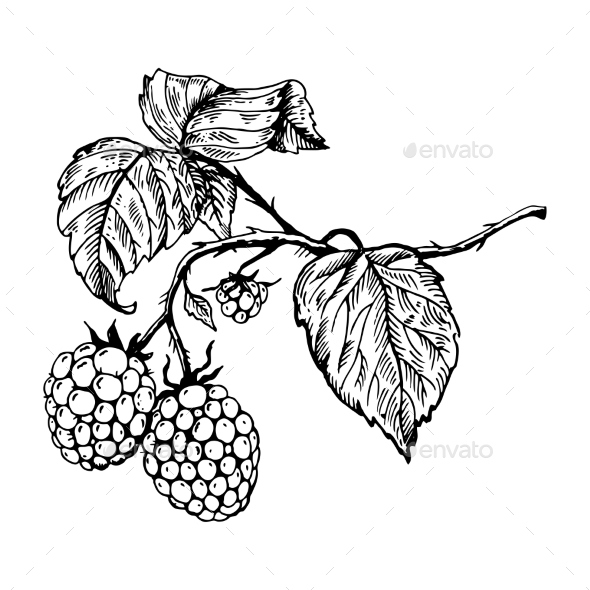 GraphicRiver Raspberry Engraving Vector Illustration 20980309