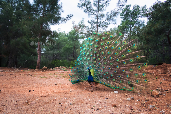 Peacock with a loose tail in the forest - Stock Photo - Images