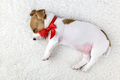 jack russel puppy with red bow