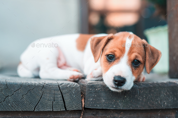 jack russel puppy on white carpet stock photoivankmit | photodune