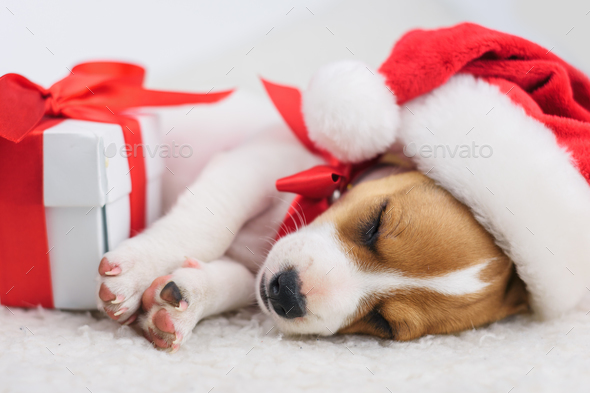 jack russel puppy with red bow - Stock Photo - Images
