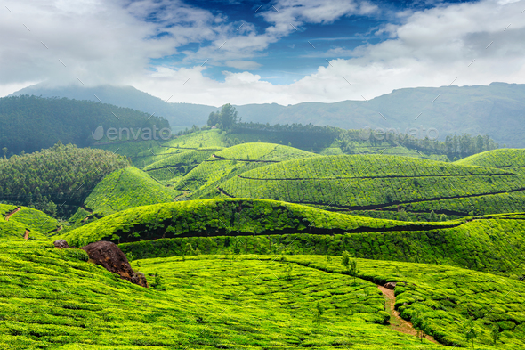 Tea plantations, India - Stock Photo - Images