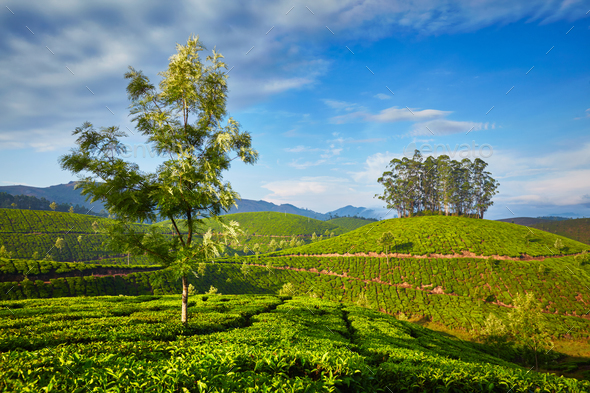 Tea plantation in the morning, India - Stock Photo - Images