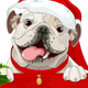 Christmas English Bulldog