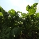 Beet Grows in the Field - VideoHive Item for Sale