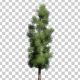 Oriental Spruce Tree - VideoHive Item for Sale