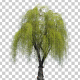 Weeping Willow Tree - VideoHive Item for Sale