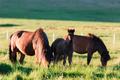 Family of icelandic horses