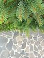 Christmas green pine fir spruce branch