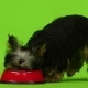 Yorkshire Terrier with a Tail Eats. Green Screen. - VideoHive Item for Sale