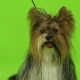 Dog Looks Around. Green Screen. - VideoHive Item for Sale