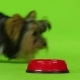 Dog Eats. Green Screen. - VideoHive Item for Sale