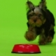 Yorkshire Terrier Eats. Green Screen. - VideoHive Item for Sale