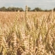 Dry Golden Wheat Spikes in a Field on Sunny Day. - VideoHive Item for Sale