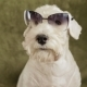 Charming White Dog Terrier - VideoHive Item for Sale