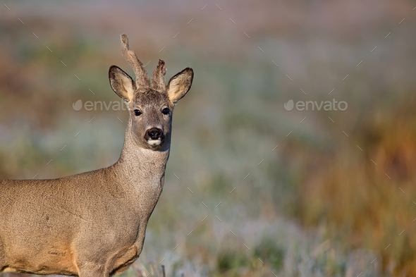 Buck deer in the fresh morning - Stock Photo - Images