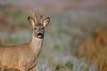 Buck deer in the fresh morning