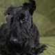 Scottish Terrier on Couch - VideoHive Item for Sale
