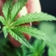 Cannabis Marijuana and on the Background of the Hands of the Concept - VideoHive Item for Sale