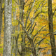 Beech forest in Autumn - PhotoDune Item for Sale