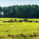A Herd of Cows on Green Grass near Forest - VideoHive Item for Sale