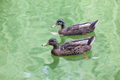 pair of mallard in water