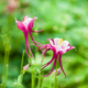 aquilegia glandulosa flower - PhotoDune Item for Sale