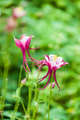 aquilegia glandulosa flower - PhotoDune Item for Sale