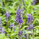 blue salvia purple flower closeup - PhotoDune Item for Sale