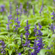 blue salvia purple flower - PhotoDune Item for Sale