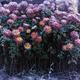 Frozen flowers - PhotoDune Item for Sale