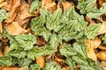 Cyclamen plants among beech fallen leaves