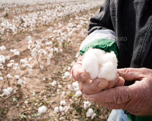 Farmer's Weather Hands Hold Cotton Boll Checking Harvest - Stock Photo - Images