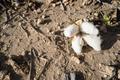 Cotton Boll Earth Dirt Farm Field Texas Agriculture Cash Crop