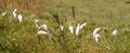 White Heron Birds Congregate Together Foraging Feeding - PhotoDune Item for Sale