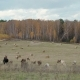 Herd Milk Сows Graze Freely in Meadow  - VideoHive Item for Sale