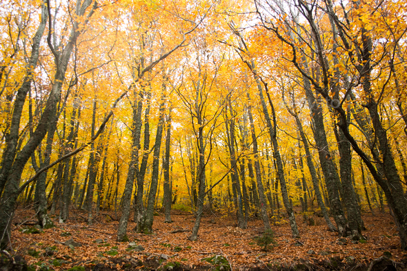 Autumn trees in the forest, Greece - Stock Photo - Images