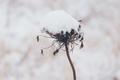 Snowy dry flower in the winter