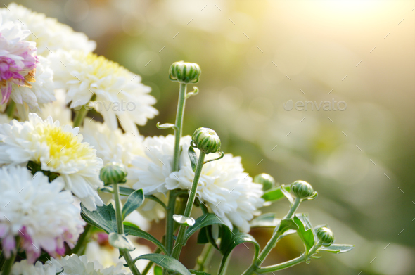 Colorful autumnal toned chrysanthemum flowerbed against sunlight - Stock Photo - Images