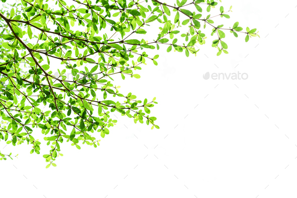 Tree branch with green leaves isolated on white background - Stock Photo - Images