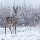 Wild roe deer in a snowstorm - PhotoDune Item for Sale