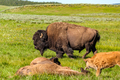 American bison family in Yellowstone