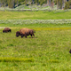 American bison family in Yellowstone - PhotoDune Item for Sale
