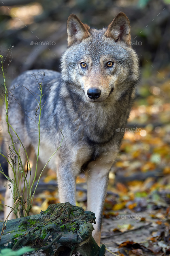 Wolf hunting in the forest - Stock Photo - Images
