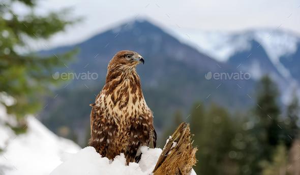 Hawk - Stock Photo - Images