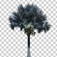 Bismarck Palm Tree - VideoHive Item for Sale