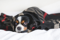 Dog under the blanket - PhotoDune Item for Sale